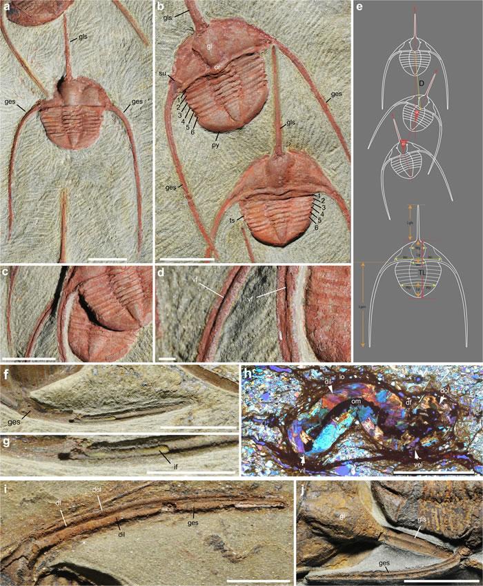 摩洛哥早奥陶世节肢动物化石研究发现集体行为可能早在4.8亿年前就已存在