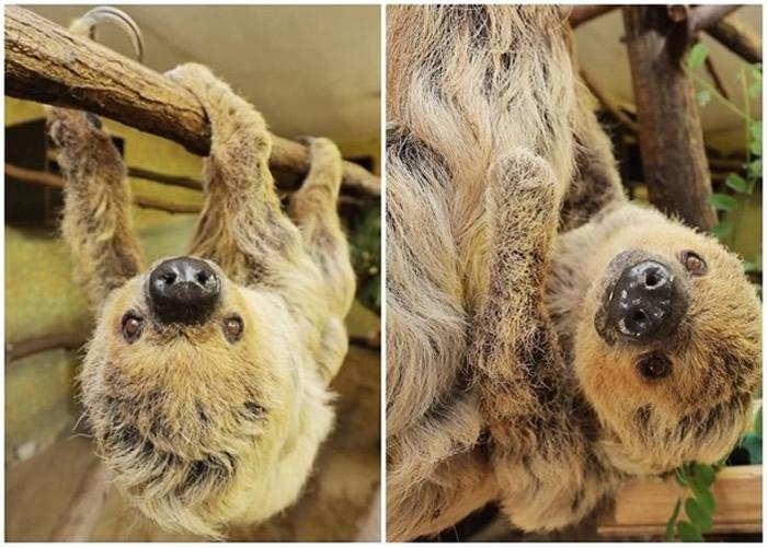 德国动物园雌性二趾树懒50岁生日列入吉尼斯世界纪录大全 曾被误当雄性24年