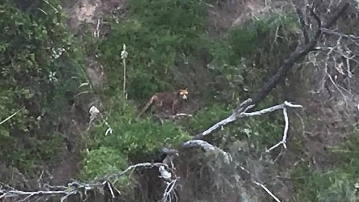 今年1月维省农夫拍下的疑似袋狼相片。