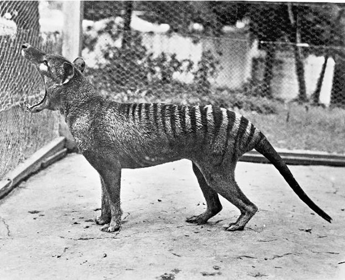 1936年在动物园中的最后一头袋狼班哲明,清楚看见口部能张至190度。