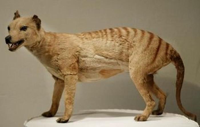现存于塔斯马尼亚岛上的袋狼标本。