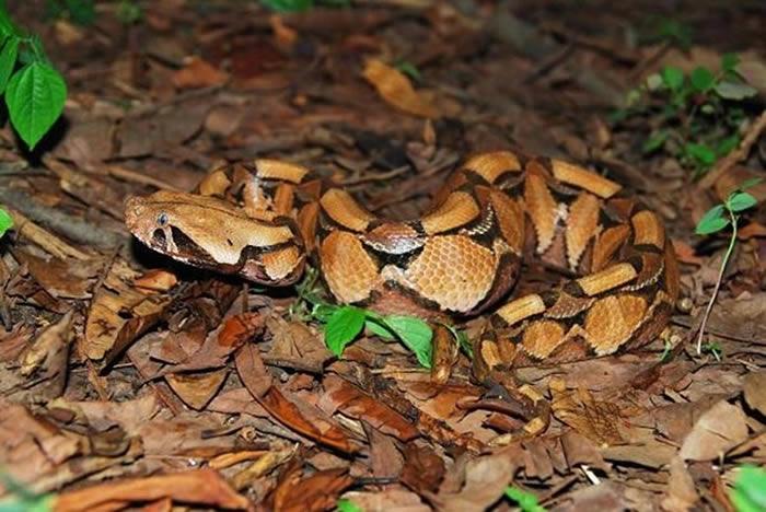 """刚果大蟾蜍非常逼真地装成了毒蛇""""加蓬咝蝰"""" 受到威胁时发出咝咝声"""