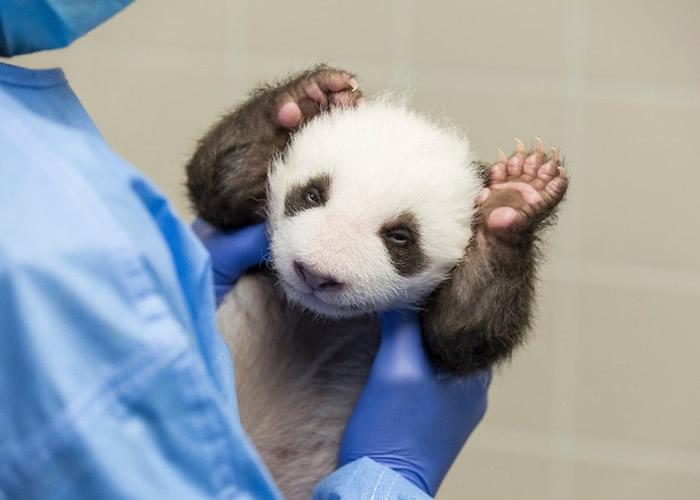 """旅居德国柏林动物园6岁大熊猫""""梦梦""""诞下双胞胎 6周大宝宝首次睁开双眼看世界"""