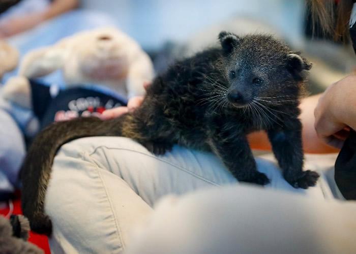 美国俄亥俄州辛辛那提动物园新生熊狸宝宝首次可爱亮相 继任辛辛那提大学吉祥物