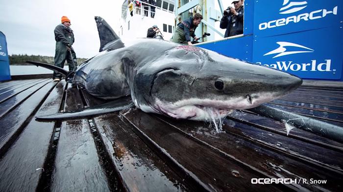 交配太激烈!加拿大海岸雄性大白鲨头被啃掉一大块