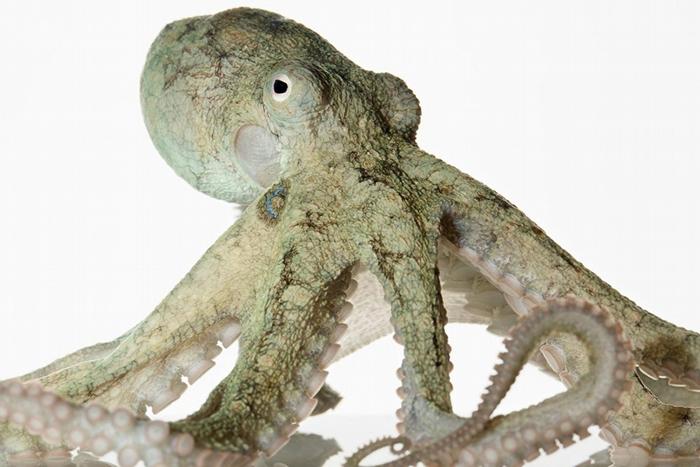 最常见的几种章鱼,寿命一般都不超过两年。 有些章鱼在人工环境中适应良好,例如加州双斑蛸(California two-spot octopus);但那些离群索居