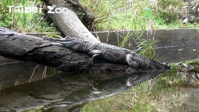 气温逐渐下降 马来长吻鳄的活力也明显降低