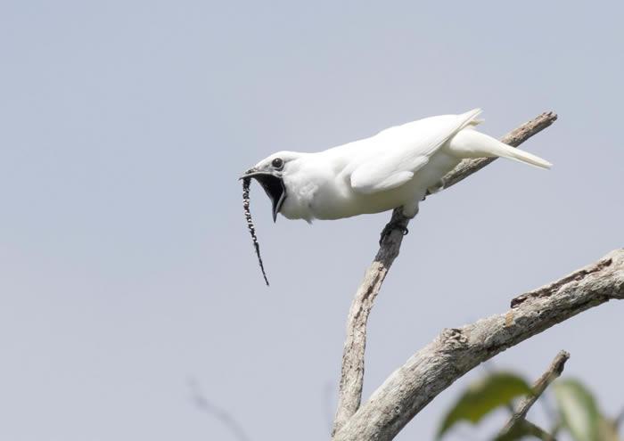 巴西亚马逊雨林的白钟伞鸟求偶时发出的叫声高达125分贝 比飞机还要吵