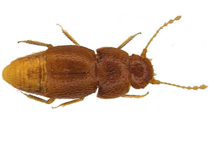 英国昆虫学家以格蕾塔·通贝里的名字命名新甲虫