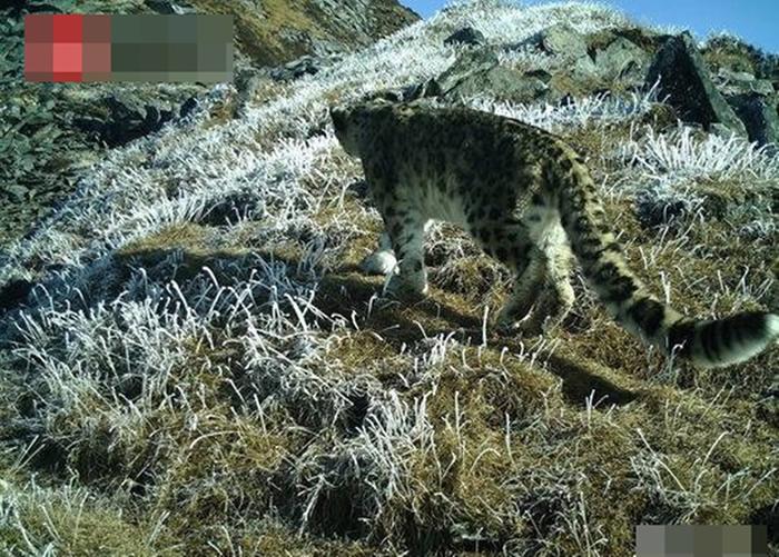 四川卧龙国家级自然保护区公布监测报告 罕有拍摄到雪豹攀岩