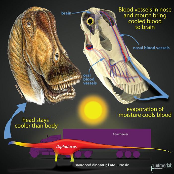 新研究称大型恐龙通过头部血管降温