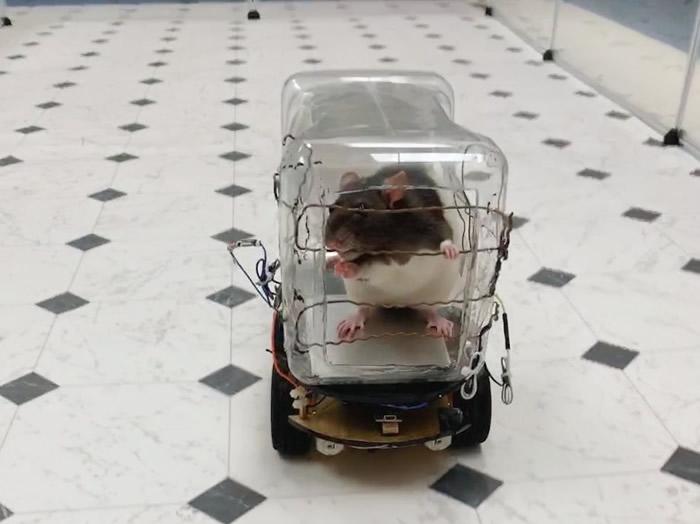 """《行为大脑研究》:美国维珍尼亚州里士满大学研究人员训练老鼠""""开车"""" 或有助人类了解情绪病"""