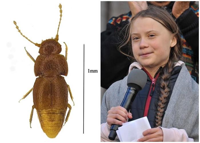 英国自然历史博物馆新甲虫以16岁瑞典少女通贝里的名字命名Nelloptodes gretae