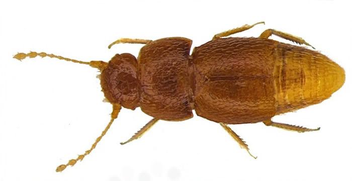 甲虫触须跟通贝里的长辫相似。