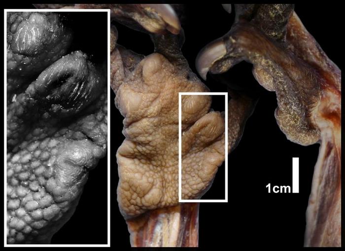 特写影像显示指猴伪拇指上的肉垫。 IMAGE BY ADAM HARTSTONE-ROSE