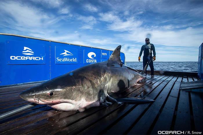 非营利性鲨鱼研究组织Ocearch发现有史以来第二大巨型大白鲨Unmaki
