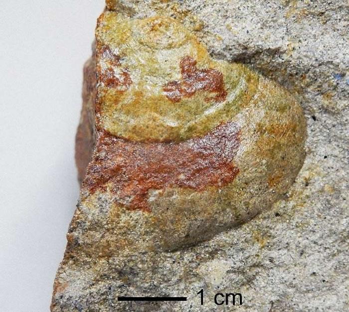 日本新潟县系鱼川市发现1400万年前海螺化石 为解开日本列岛形成过程之谜提供珍贵资料
