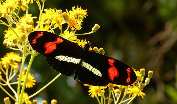 物种间DNA交换是袖蝶属蝴蝶多样性的主因
