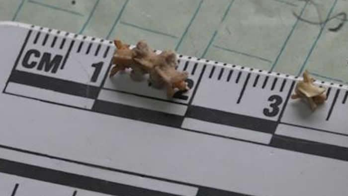 陕西省洛南县龙牙洞发现的有鳞类被确定为距今约35万—27万年的水游蛇化石