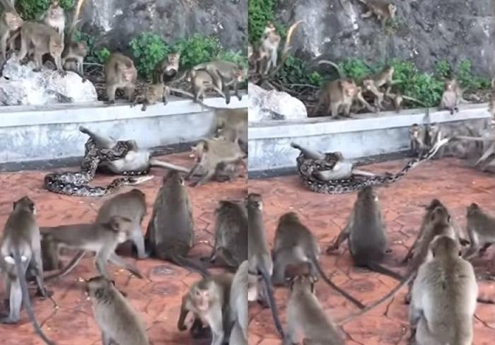 泰国南部巴蜀府猴子遭蟒蛇缠住 数十只猴子包围仍救不出来