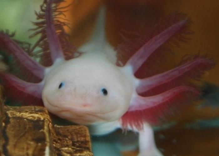 发现墨西哥钝口螈藏重生分子 对研究人类再生功能有帮助
