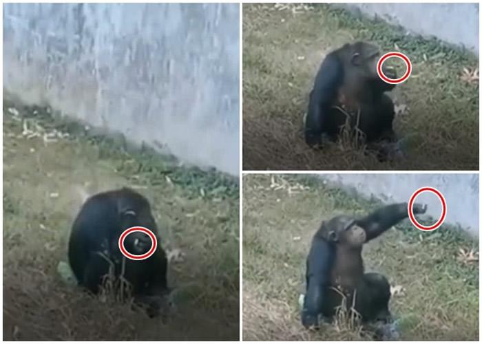 传合肥市动物园有黑猩猩抽烟 园方两度改口惹议