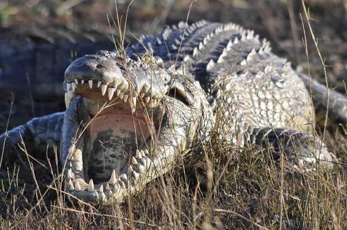 津巴布韦11岁女童目睹朋友要被吃掉 直接跳到鳄鱼背上将其双眼挖出