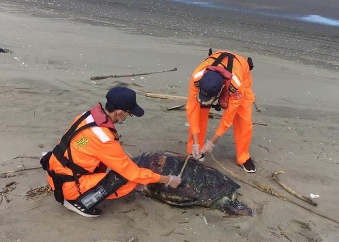 一只濒危绿蠵龟死于苗栗沙滩上。(中时电子报图片)