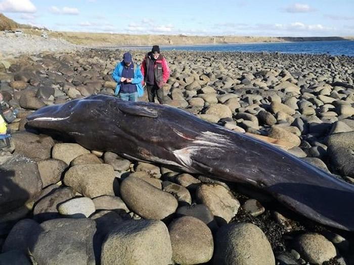 难得出现在英国阿伯索赫的小抹香鲸却死于塑胶垃圾