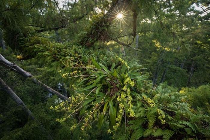 鬼兰不是唯一生活在沼泽与沼泽森林的附生植物。 落羽松原始林郁郁葱葱的树冠提供了理想的栖地与微气候给其他多种稀有的附生植物,例如这种多穗兰(Polystachya