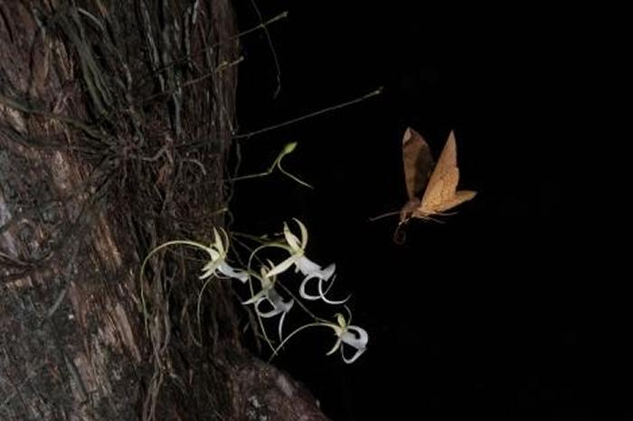 在螺旋沼泽,一只狮身人面像蛾(Pachylia ficus)为一株鬼兰授粉后徘徊在花朵上方。 PHOTOGRAPH BY MAC STONE