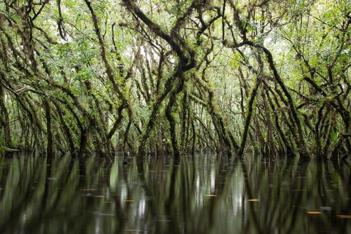 圆滑番荔枝是鬼兰的重要宿主。 它们能在长时间的洪水泛滥中存活,而且它们茂密的树冠有助于创造出适合鬼兰的理想微气候。 PHOTOGRAPH BY MAC STON