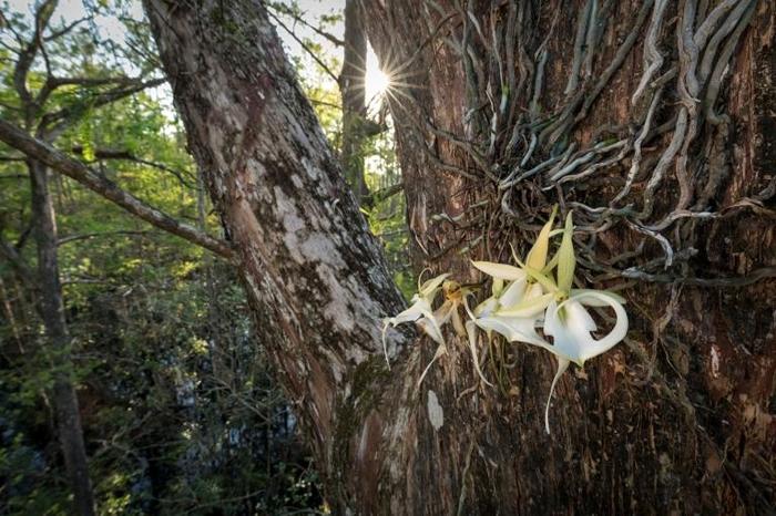 「超级鬼兰」是南佛罗里达野外已知最大的鬼兰,它会同时绽放许多花朵,有时夏季的多数时间都在开花。 PHOTOGRAPH BY MAC STONE