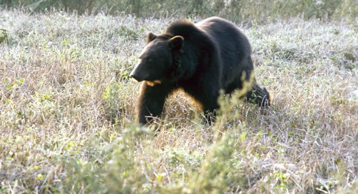 俄罗斯滨海边疆区乌苏里斯克附近一头熊袭击猎人