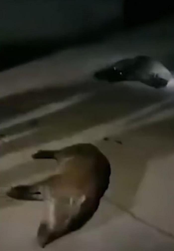 近30只野猪冲入安徽省含山县姚庙初级中学校内乱冲乱撞