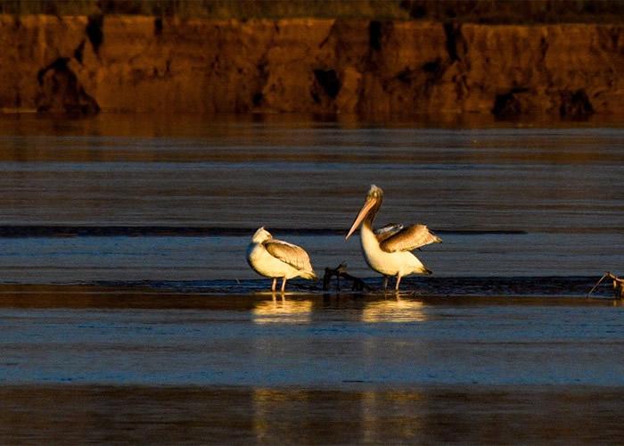夏银川黄河边发现稀有鸟类卷羽鹈鹕 为今年首次