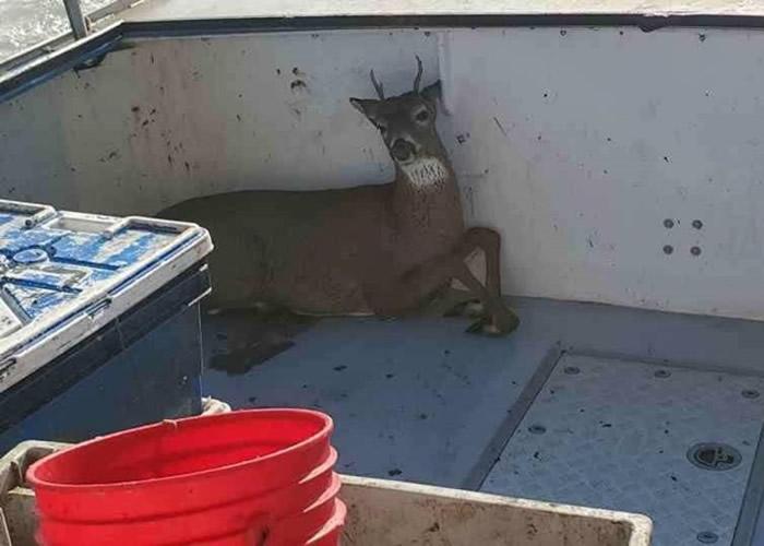 美国缅因州捕龙虾船发现一只鹿竟在海中游泳 船员展开救援