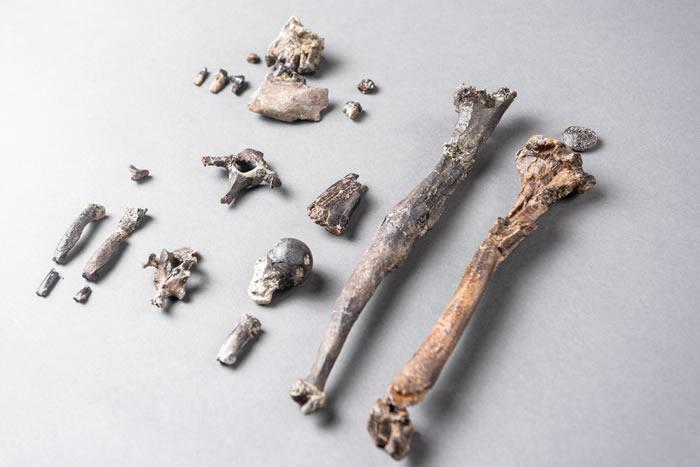 """德国发现的1162万年前类人猿""""丹努维乌斯""""Danuvius guggenmosi化石或改写人类进化史"""