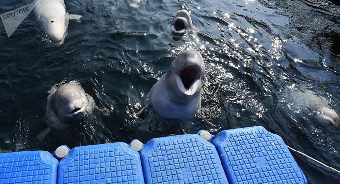 """俄罗斯滨海边疆区乌斯佩尼耶湾放生来自""""鲸鱼监狱""""的19头白鲸"""