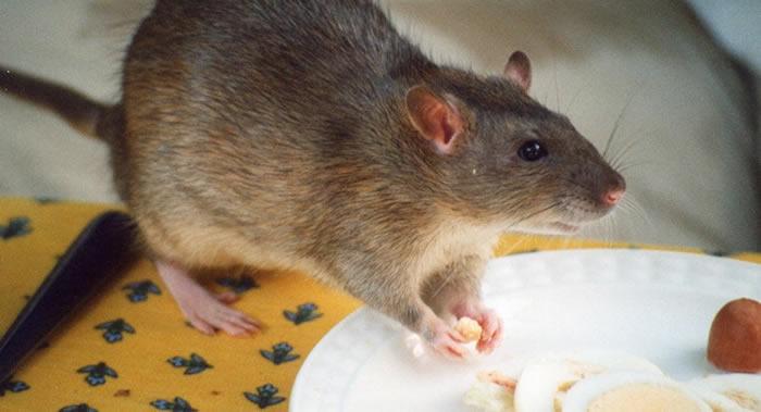 俄罗斯医生将试验用专门的老鼠诊断癌症肿瘤