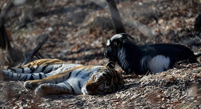 """俄罗斯滨海边疆区野生动物园与老虎""""阿穆尔""""结下传奇友谊的山羊""""铁木尔""""去世"""