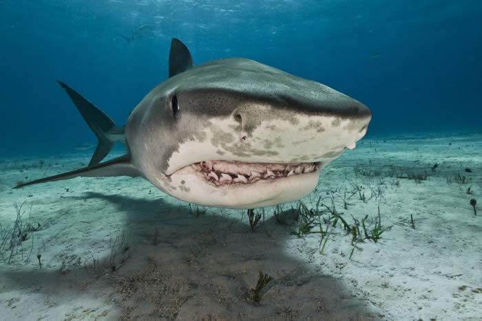 印度洋法属留尼汪岛虎鲨胃里发现一只戴戒指的手