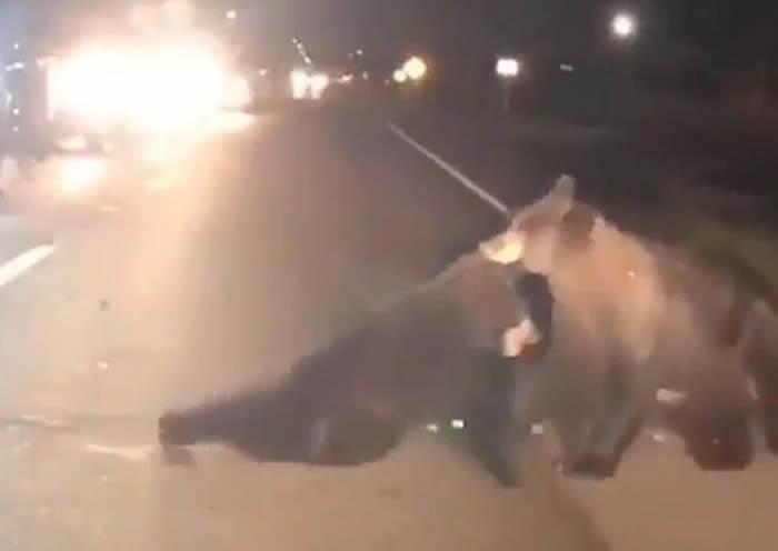 美国佛州黑熊家族过马路时小熊不幸被汽车撞到 熊妈妈奋不顾身救助