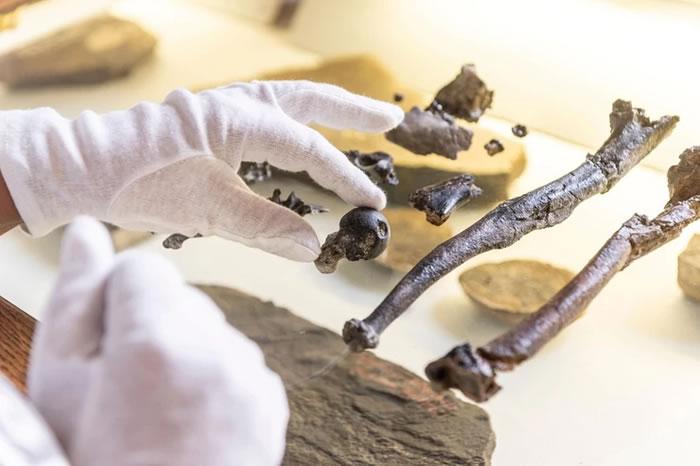 德国巴伐利亚发现全新古猿化石 人类祖先直立行走的时间又提前了数百万年