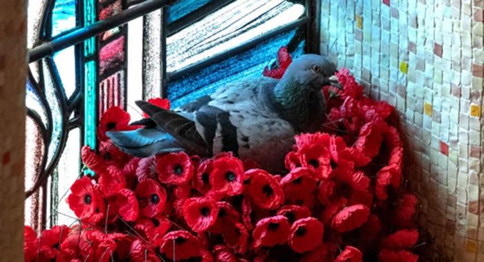 澳大利亚鸽子用堪培拉国家战争纪念馆里的罂粟花筑巢