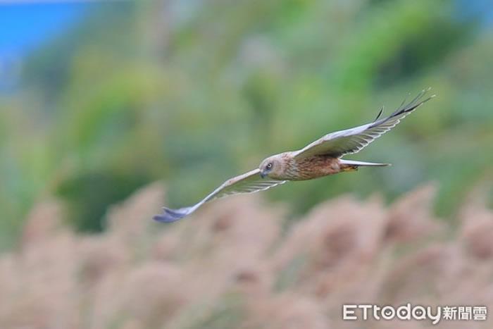 屏东县恒春当地经营民宿的鸟友吴嘉锟拍摄到这只西方泽鵟,是全台首笔纪录 。(图/吴嘉锟提供)