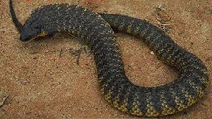 """澳洲女子好奇观赏剧毒""""虎蛇""""交配被咬4口 医生认为""""存活机率为零""""但最后活了下来"""