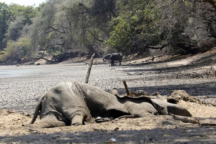 世界自然遗产津巴布韦马纳潭国家公园原本是野生动物饮水天堂 105头大象因缺水而死