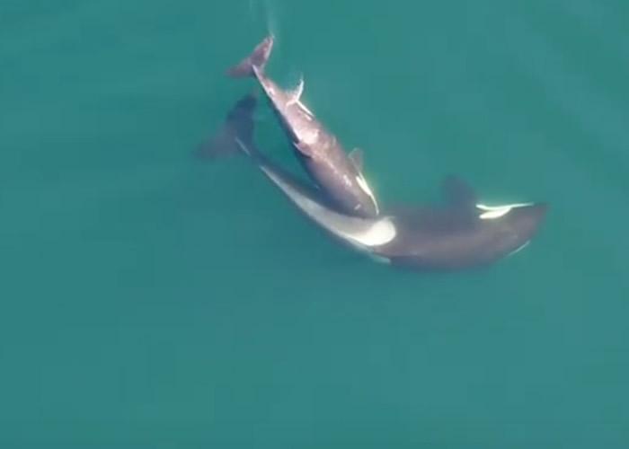 加拿大研究团队无人机在卑诗省海岸拍摄到杀人鲸母子亲昵身体接触的温馨场面