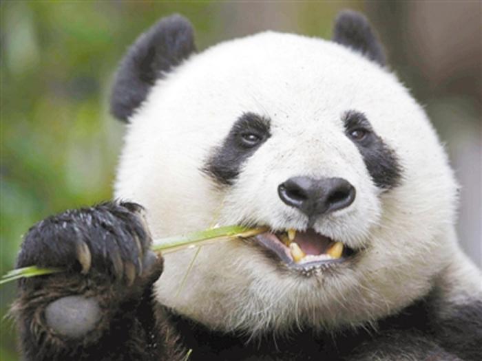 复杂的牙齿结构助大熊猫成生存竞争赢家